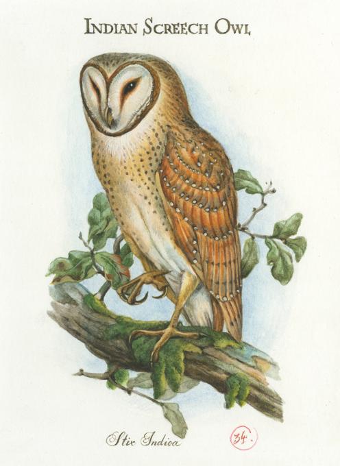 Indian Screech Owl