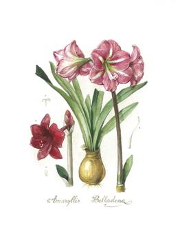 Belladonna Lily Flower