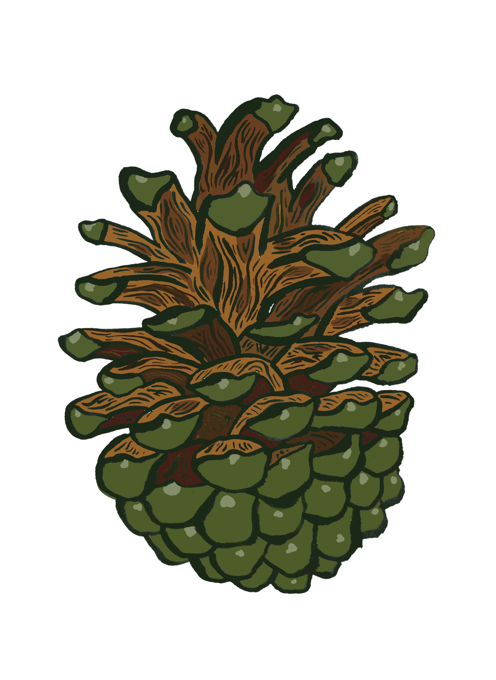 Pinecone from the forest
